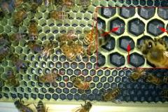 WP_20140511_022 larva eggs enlarge