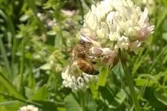 bee clover2