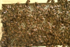 bees drawing wax